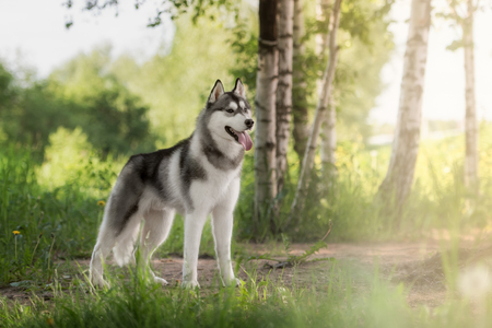 a husky look at me Stock Photo