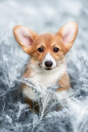 dog Welsh Corgi Pembroke