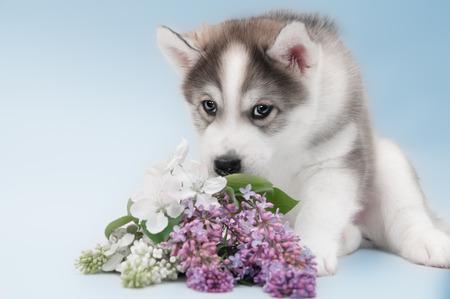 Close up of siberian husky puppy