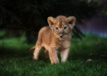 African Lion cub, South Africa Stock Photo