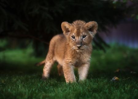 Afrikaanse leeuwwelp, Zuid-Afrika Stockfoto - 86483710