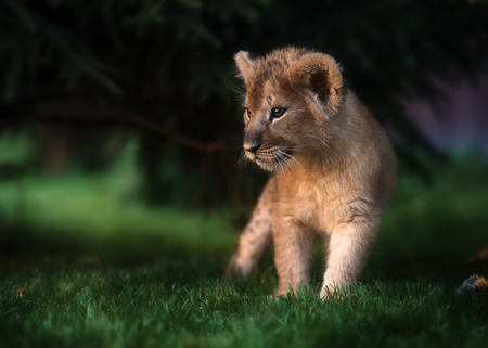 African Lion cub, South Africa Reklamní fotografie - 86483711