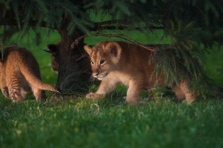African Lion cub, South Africa Reklamní fotografie