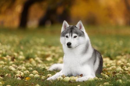 White And Gray Adult Siberian Husky Dog Or Sibirsky Husky Eyes Close Up Portrait Reklamní fotografie