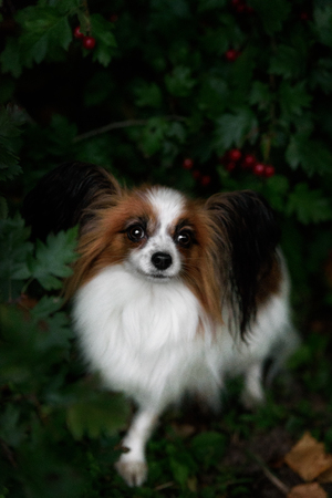 Portrait of a papillon close-up. A beautiful dog in pink colors.