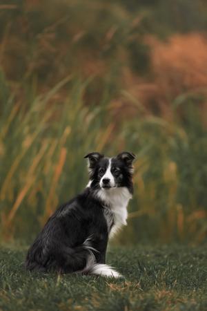 Cute black white border collie Reklamní fotografie