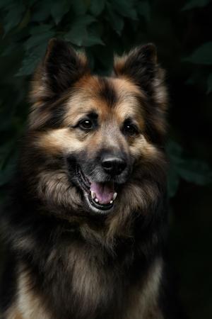Portrait of a German Shepherd Dog Reklamní fotografie - 100927749