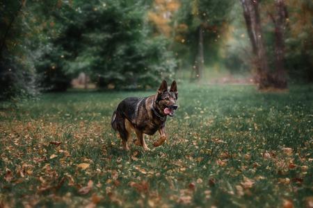 Portrait of a German Shepherd Dog Reklamní fotografie - 100768646