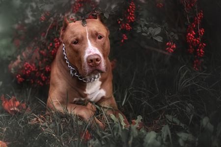 Nature Autumn Animals Leaves Dogs Iron Pitbull Natural Park Background Reklamní fotografie