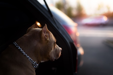 Faithful dog sitting in a car and looking to sunshine