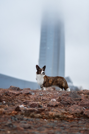 Adult dog welsh corgi cardigan posing outdoore Reklamní fotografie