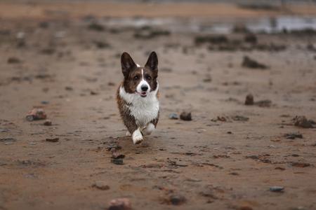 Adult dog welsh corgi cardigan Reklamní fotografie