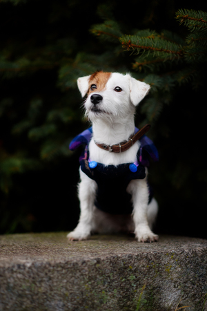 Jack Russel Parson Dog Run Toward The Camera