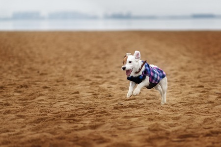Jack Russel Parson Dog Run Toward The Camera Low Angle High Speed Shot Stockfoto