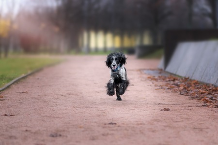 Cute Russian spaniel black and white Sits and run and play in a park