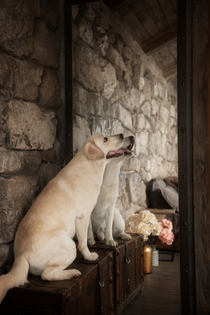 Yellow labrador retriever dog in interior Banco de Imagens