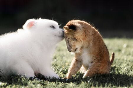 White Swiss Shepherds puppy play and kiss with lion cub
