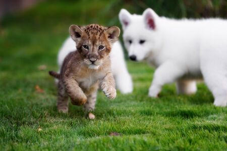 White Swiss Shepherds puppy and lion cub