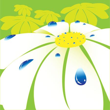 daisywheel: flower of the daisywheel in dewdrop on green Illustration