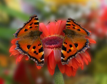 colouration: two butterflies on a red flower