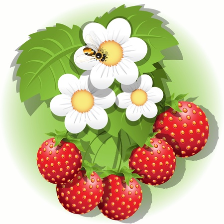 strawberry plant: illustration, red strawberry, white flower and bee