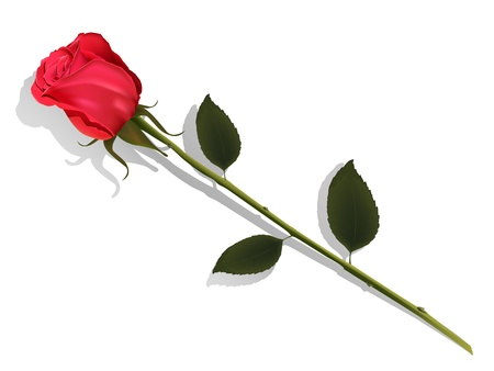 rose bud: illustration insulated flower of the red rose on white background