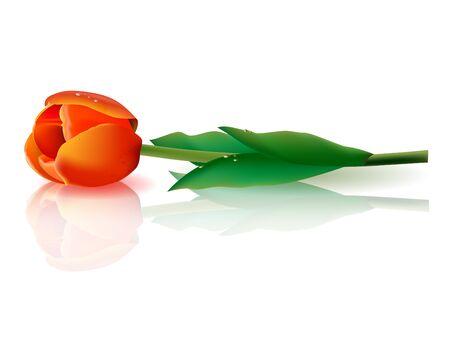 tulipe rouge: illustration d'une tulipe rouge sur la surface du miroir
