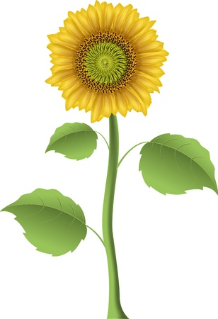illustration of a sunflower on a white background Ilustrace