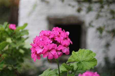 ollas de barro: geranios en macetas de arcilla en un patio pueblo griego Foto de archivo