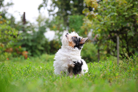shaggy: cheerful little tricolor puppy on a background of nature
