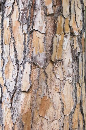 barks: texture of pine bark