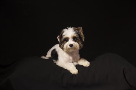 nariz roja: Portrait of a cute little puppy tricolor