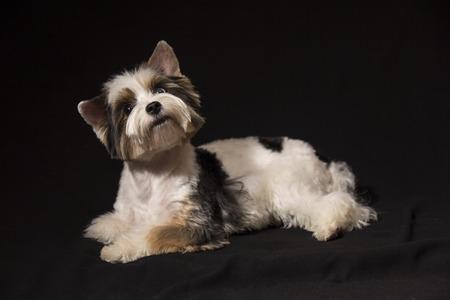 tricolor: Portrait of a cute little puppy tricolor