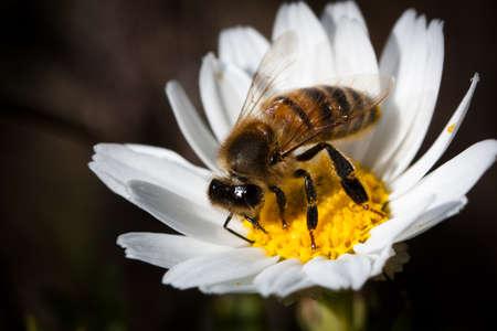 pap: Bee