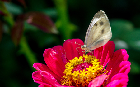 White butterfly sits on the flower and eat the yellow pollen.