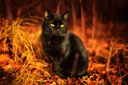 Black cat with yellow eyes sitting in the dry grass and leaves.