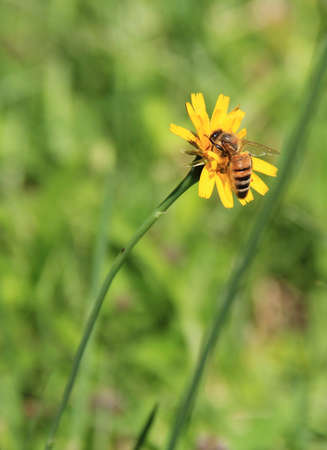 A honeybee gathers pollen from a dandelion flower Stock Photo