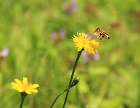 A honey bee, laden with pollen, approaches a dandelion flower
