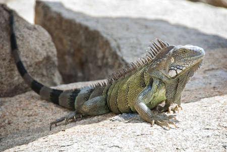 Iguana op een rots