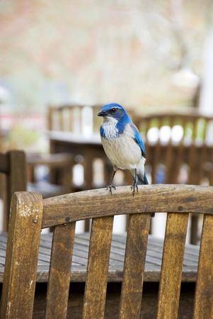 Bluebird rusten op de rug van een houten stoel