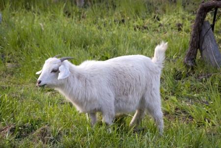 Jonge witte geit eten in een groen gebied van gras Stockfoto