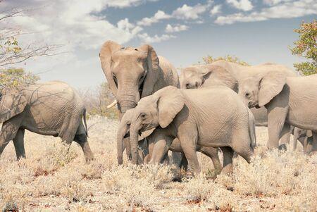 Herd of African elephants walking through Etosha National Park in Namibia