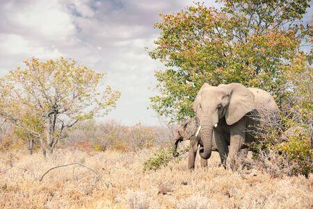 African elephants walking through the brush in Etosha National Park in Namibia