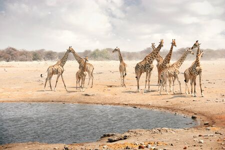Group of giraffes at a watering hole in Namibia, Africa Stockfoto
