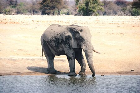 African elephant drinking from a watering hole in Etosha National Park in Namibia Stockfoto