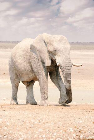 African elephant walking through Etosha National Park in Namibia Stockfoto