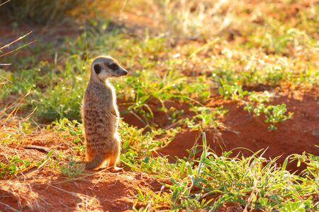 sun s: Un Meerkat Suricata suricatta seduta adolescente al sole del mattino, guardando su di esso s tana