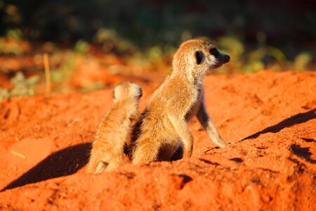 A Meerkat  Suricata suricatta  pup leaning against an adolescent Meerkat, as they emerge from their burrow  photo