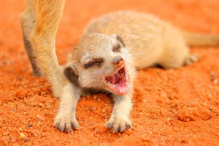 A Meerkat  Suricata suricatta  pup yawing as it lays on the red Kalahari sand  photo
