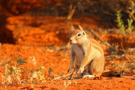 xerus inauris: A ground squirrel  Xerus inauris  sitting atop it s burrow system  Stock Photo